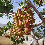 Onbio 10Pcs/Pack Pistachios Seeds Garden Outdoor Nut Tree Fruit Tree Seeds Planting Trees