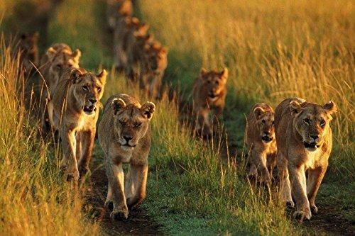 (Pride National Mara Lions Kenya Animal Poster Fabric Silk Poster Print B0101-7 )