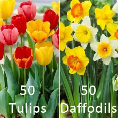 50 Tulip Bulbs and 50 Daffodils Collection - Fall Planted Flower Bulbs by FlowersandBulbs