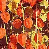 50 Seeds of Physalis Alkekengi Franchetii Perennial