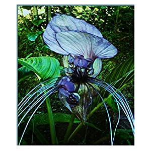 Bat Lily Seeds - Tacca Intergifolia - Beautiful Tropical Plant - 20 Seeds 134