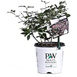 Bloomerang Dark Purple Reblooming Lilac (Syringa) Live Shrub, Purple Flowers, 1 Gallon