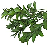 Farm Fresh Natural Israeli Ruscus Greens - 50 stems