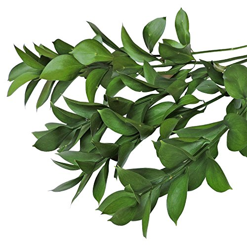 Farm Fresh Natural Israeli Ruscus Greens - 100 stems by Bloomingmore