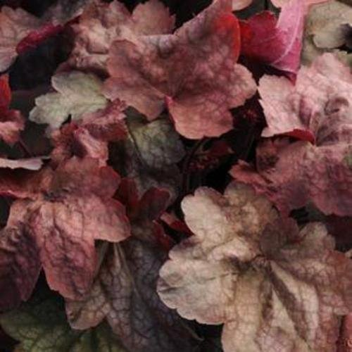 Heuchera CARNIVAL CANDY APPLE red coral bells 2.5