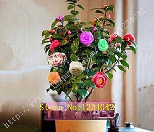 10PC world's rare rainbow camellia seeds. Natural growth colorful plants. Bonsai camellia