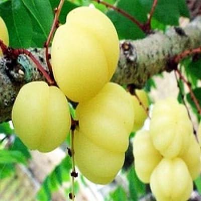 Phyllanthus acidus,Otaheite Gooseberry, Gooseberry tree, 10 seeds