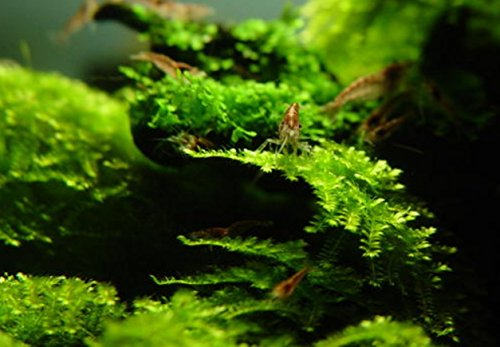 amazoncom mainam christmas moss in cup live aquarium plant decorations freshwater not java moss pet supplies