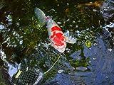 Pond Clarifier for Proud KOI Pond Owners - Premium