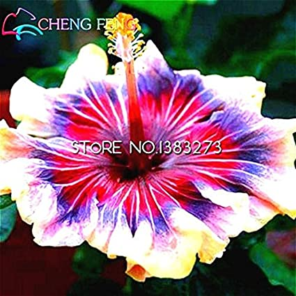 Amazoncom 30 Pcs Giant Hibiscus Flower Seeds Chinese Cheap