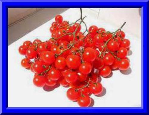 ReisentraubleTomato Seeds! (Rare) Massive clusters of tomatoes! Comb. S/H ()