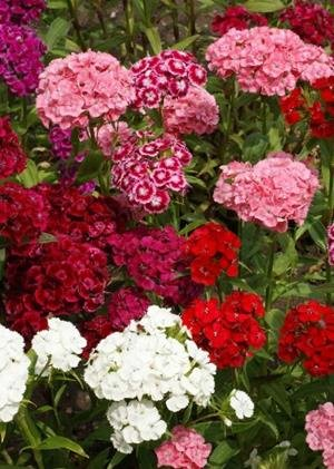 Sweet William (Dianthus barbatus), 750 Certified Pure Live Seed, True Native Seed Dianthus Barbatus