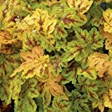 heucherella SOLAR POWER yellow red Coral Bells 2.5'' pot☆1 Live Potted Plant☆