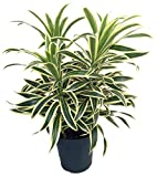"Song of India Dragon Tree - Pleomele - Dracaena -6"" Pot-Easy to Grow House Plant"