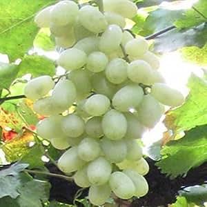 Las plantas del patio mayores, deliciosa de la fruta de semilla de uva semillas Kyoho hija mencionar rojo - 10 semillas