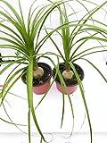 "Two Ponytail Palm - 4"" Pot - Beaucarnea - Great"