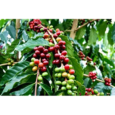 AchmadAnam - 1 Gal Pot Arabica Coffee Bean - 1 Feet Tall - Ship in : Garden & Outdoor