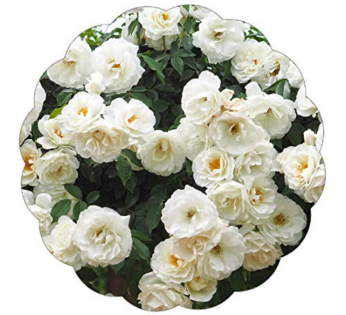 (Stargazer Perennials Iceberg Climbing Rose Plant Potted | White Flowers Rose Own Root Easy To Grow Climber )