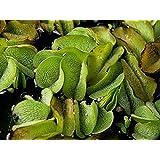 1 portion Büschelfarn  Schwimmpflanzen Schwimmpflanze Teichpflanze Teichpflanzen