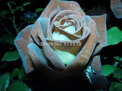 200 Pcs / Bag - Chocolate Rose , Chocolate Mint Rose Seeds - Bonsai Flower Plant Seeds