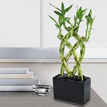 Captivating Lucky Bamboo 8 Cane Trellis Plant Arrangement