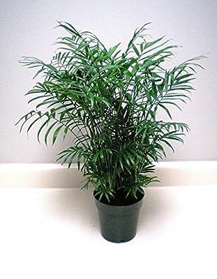 Chamaedorea Elegans (Palour Palm) 15 Seeds Air Purification House Plant