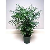 Glamaours Chamaedorea Elegans (Palour Palm) 15 Seeds Air Purification House Plant