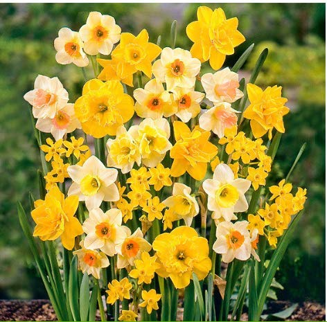 Seed House-KOUYE Rarities 50pcs Daffodils Seeds Rare Flower Seeds Hardy Perennial Colorful Flower Bulbs for Balcony/Garden