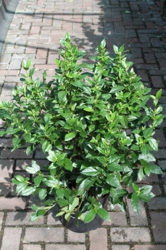 Gartenpflanze - Lorbeerschneeball (Viburnum tinus) - GROSSE ...