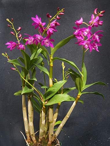 - Dendrobium Johnathan's Glory 'Dark Joy', Orchid Plant