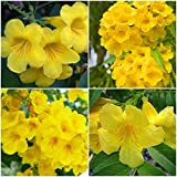 2 Tecoma stans Plants~Yellow Elder~ Esperanza~Trumpetflower~Bells of Fire