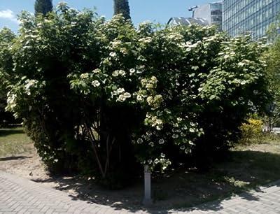 25 + European cranberry bush seeds (Viburnum opulus) Ornamental Shrub CombSH I81