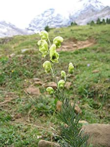 Asklepios-seeds® - 200 Semillas de Aconitum anthora Gelber Eisenhut, Gift Eisenhut acónito de los Alpes, acónito salutífero, acónito amarillo, antora