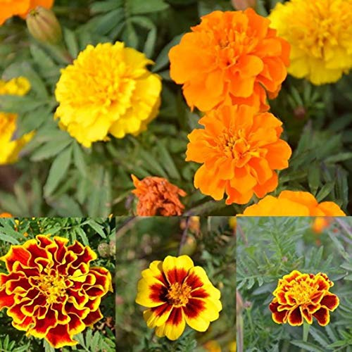 French Marigold Mix 950 Seeds Yellow Orange Red Flowers Border 326 (950 Seeds)