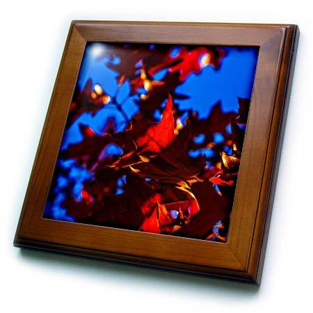 3dRose Alexis Photography - Seasons Autumn 2 - Spots of sunlight on a dark red oak tree leaves. Autumn evening - 8x8 Framed Tile (ft_272281_1) -