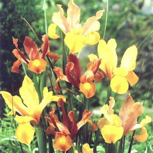15 Dutch Iris bulbs Bi-Color Mix-Bronze,Oriental,Mystic &More****FALL PLANTING