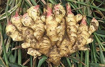 Keland Garten 100 Stück China Bio Ingwer Zingiber Officinalis