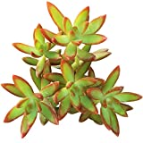 Sedum Adolphii Firestorm Golden Sedum (2'' + Clay Pot)