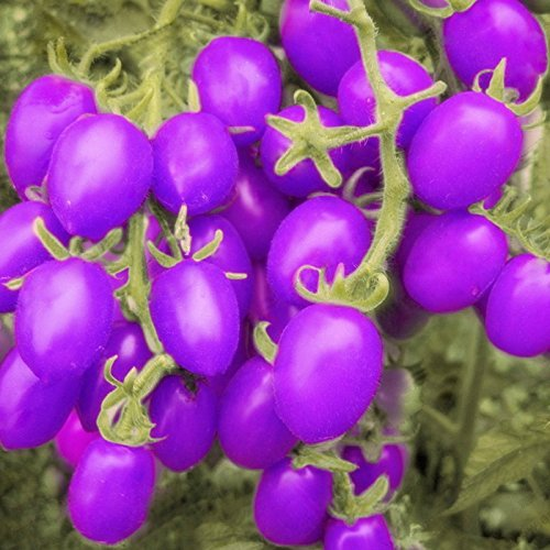 100 Pcs Purple Cherry Tomatoes Seed Balcony Fruits Seed Vegetables Potted Bonsai Potted Plant Tomato Seeds