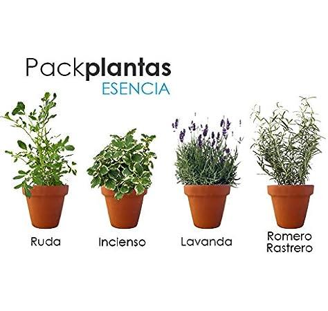 PACK AROMÁTICAS ESENCIA: 1 RUDA, 1 INCIENSO, 1 LAVANDA, 1 ROMERO ...