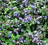 (25 Plants Classic Pint) Ceratostigma plumbaginoides Dwarf Plumbago, Foliage emerges Burgundy, Later Turning to Green Then Turns Bronze in Fall. Blooms are a Rich Blue.
