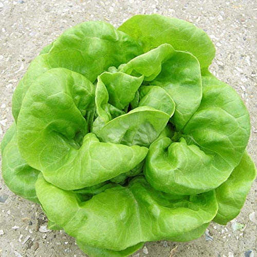 Buttercrunch Butterhead Lettuce Seeds - 1,000+ Premium Heirloom Seeds, Amazing Flavor! Top Seller! (Isla's Garden Seeds) - Non GMO, 85-90% Germination Rates, Highest Quality Seeds