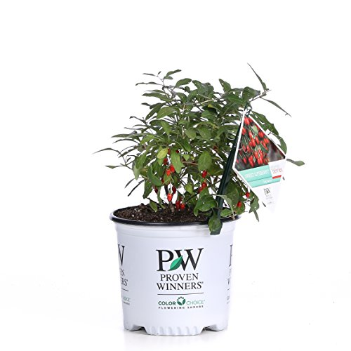 1 Gal. Sweet Lifeberry Goji Berry (Lycium) Live Shrub, Purple Flowers and Red Fruit by Proven Winners