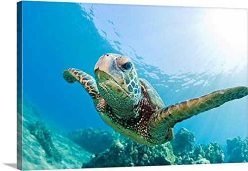 Canvas On Demand Premium Thick-Wrap Canvas Wall Art Print entitled Green sea turtle swimming underwater in Hawaii. by Canvas on Demand