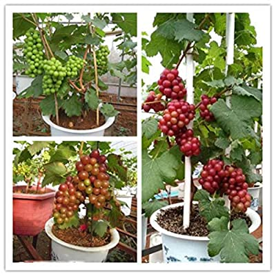 LEANO Garden - 50PCS Grape Seeds for Planting - Dwarf Home Planting Fruit Tree - Easy to Grow Sweet Fruits : Garden & Outdoor