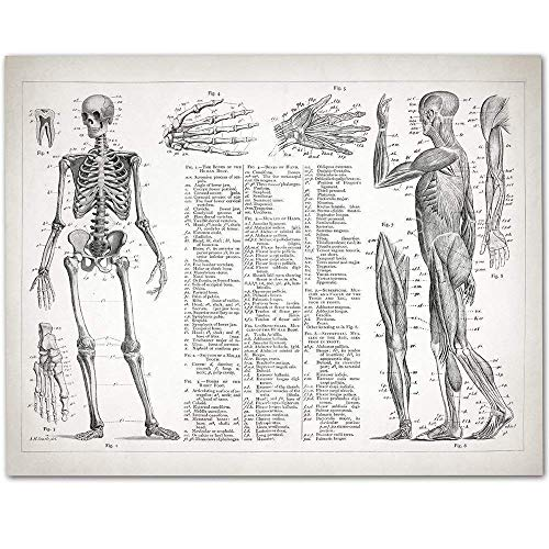 Human Anatomy - Muscular and Skeletal Systems - 11x14 Unframed Art Print - Makes a Great Gift Under $15 for Doctors, Nurses, Nursing Students