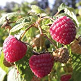 Burpee 'Heritage' Ever-Bearing Raspberry shipped as FIVE BARE ROOT PLANTS