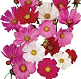 1000 Cosmos Sensation Seeds - Long Blooming Period in All Zones 4-5' Tall