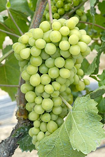 Diamond Grape 10 Seeds UPC 648620997739 + 1 Plant Marker Sparkling Wines (Sparkling Hardys Wine)