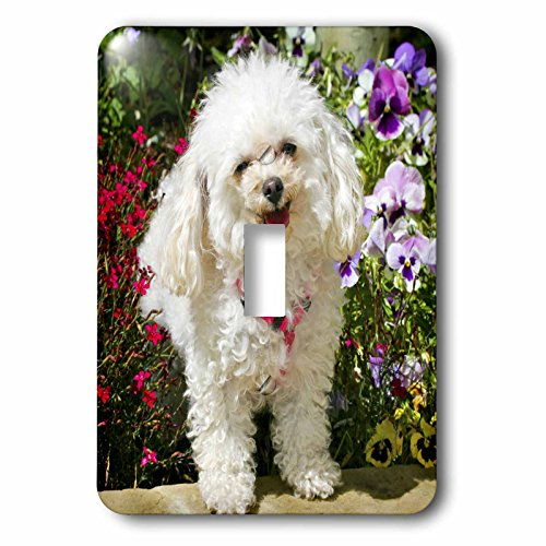 3dRose lsp_88831_1 Colorado, Summit County, Teacup Poodle Dog - Us06 Bja0070 - Jaynes Gallery - Single Toggle Switch